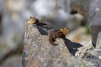 Golden-Mantled Ground Squirrels On Rock