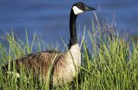 Canada Goose (Branta Canadensis) In Tall Grass