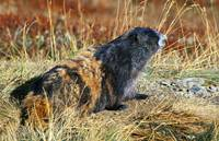 Olympic Marmot In Autumn Color Grass