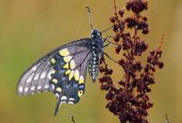 Black Swallowtail Butterfly (Papilio Polyxenes) O