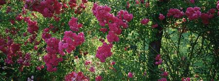 High angle view of pink roses on a trellis