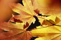 Autumn Color Vine Maple Tree Leaves