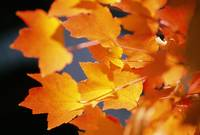 Autumn Color Maple Tree Leaves