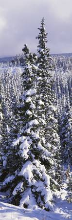 Snow Covered Trees Glacier National Park MT