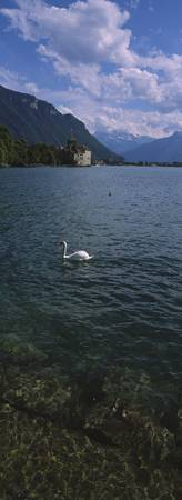 Swan swimming in a lake with a castle in the back