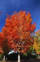 Autumn Color Maple Trees