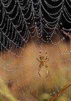 Garden Spider (Araneus Diadematus) On Dew-Covered