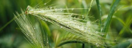 Dew drops on barley