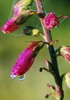 Dewdrops On Foxglove Flower Blossoms (Digitalis P