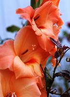Gladiolus Flower Blossoms