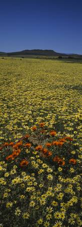 Red and yellow Daisies in a field