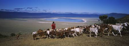 Masai herdsman herding his goats out of a crater