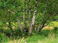 Red Alder Tree
