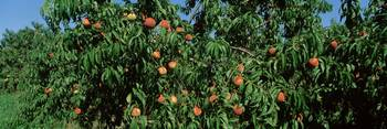 Low angle view of peaches growing on a tree