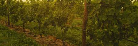 Close-up of a grape vines in a vineyard at dusk
