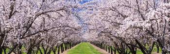 Almond Tree Orchard nr Winters CA