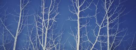 Bare Aspen Trees at Dark
