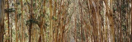 Eucalyptus trees in a park