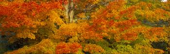 Sugar maple trees in autumn