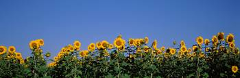 Sunflower Field Marion County IL