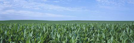 Corn crop on a landscape