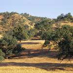 """Oak trees on hill"" by Panoramic_Images"