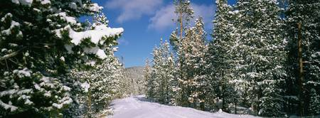 Coniferous trees covered with snow