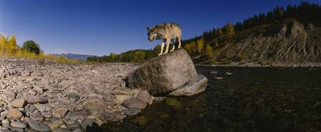 Gray wolf standing on a rock at the riverbank