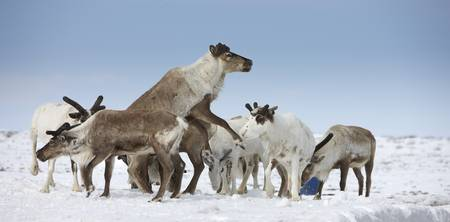 Reindeers Rangifer tarandus in a snow covered fie