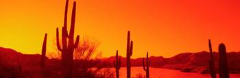 Silhouette of Saguaro cacti at sunrise