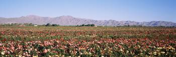Rose Field White Tank Mountains Waddell AZ