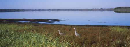 Two Sandhill cranes in a field