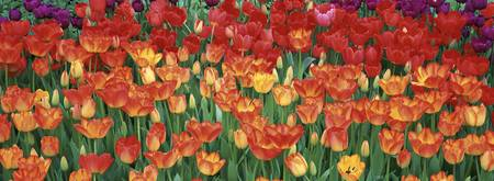 Close-up of tulips in a garden