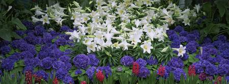 Close-up of lilies in a garden