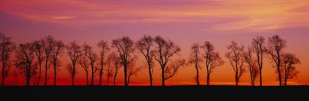Silhouette of Locus trees in a countryside