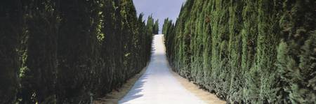 Row of Cypress Trees Tuscany Italy