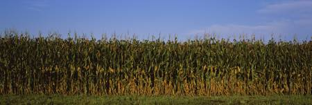 Corn crop in a field