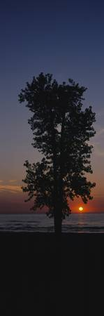 Silhouette of a cotton wood tree at sunrise