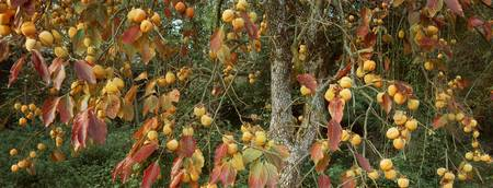 Close-up of a persimmon tree