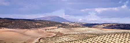 High angle view of olive trees in fields