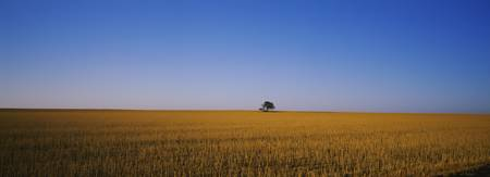 Tree in a wheat field