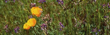 California Poppies Lupine Northern CA