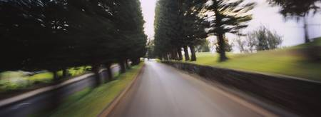 Evergreen trees at the both sides of a road