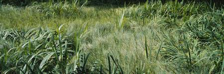 Grass on a marshland