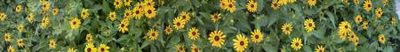 Close-up of Black-Eyed Susans in a field