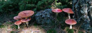 High angle view of Fly Agaric mushrooms