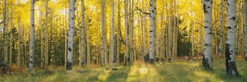 Aspen trees in a forest