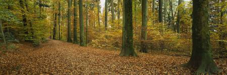 Beech trees in the forest