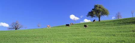 Cows Cantone Zug Switzerland