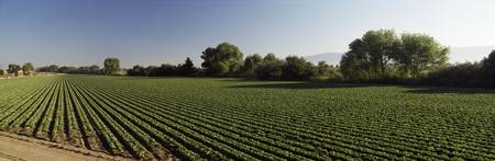 Lettuce Field Salinas Valley CA